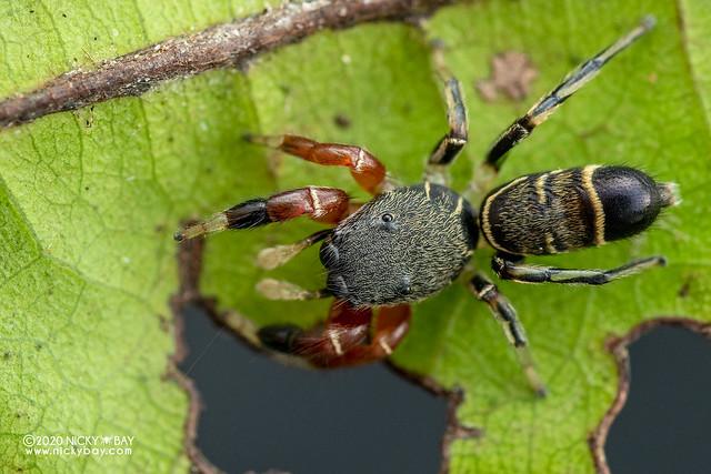 Jumping spider (Piranthus kohi) - DSC_4686