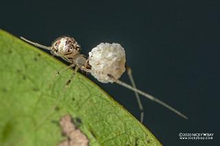 Comb-footed spider (cf. Platnickina sp.) - DSC_4732
