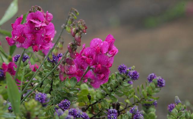 Pink & Purple.. Norfolk