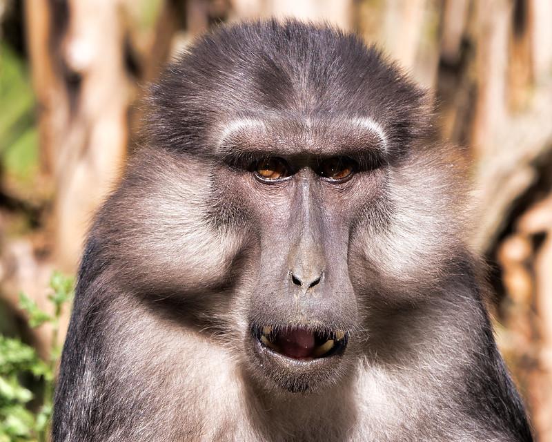 Macaques de Tonkéan 50275616792_054a649a39_c