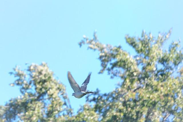 fleeing pigeon - fliehende Taube