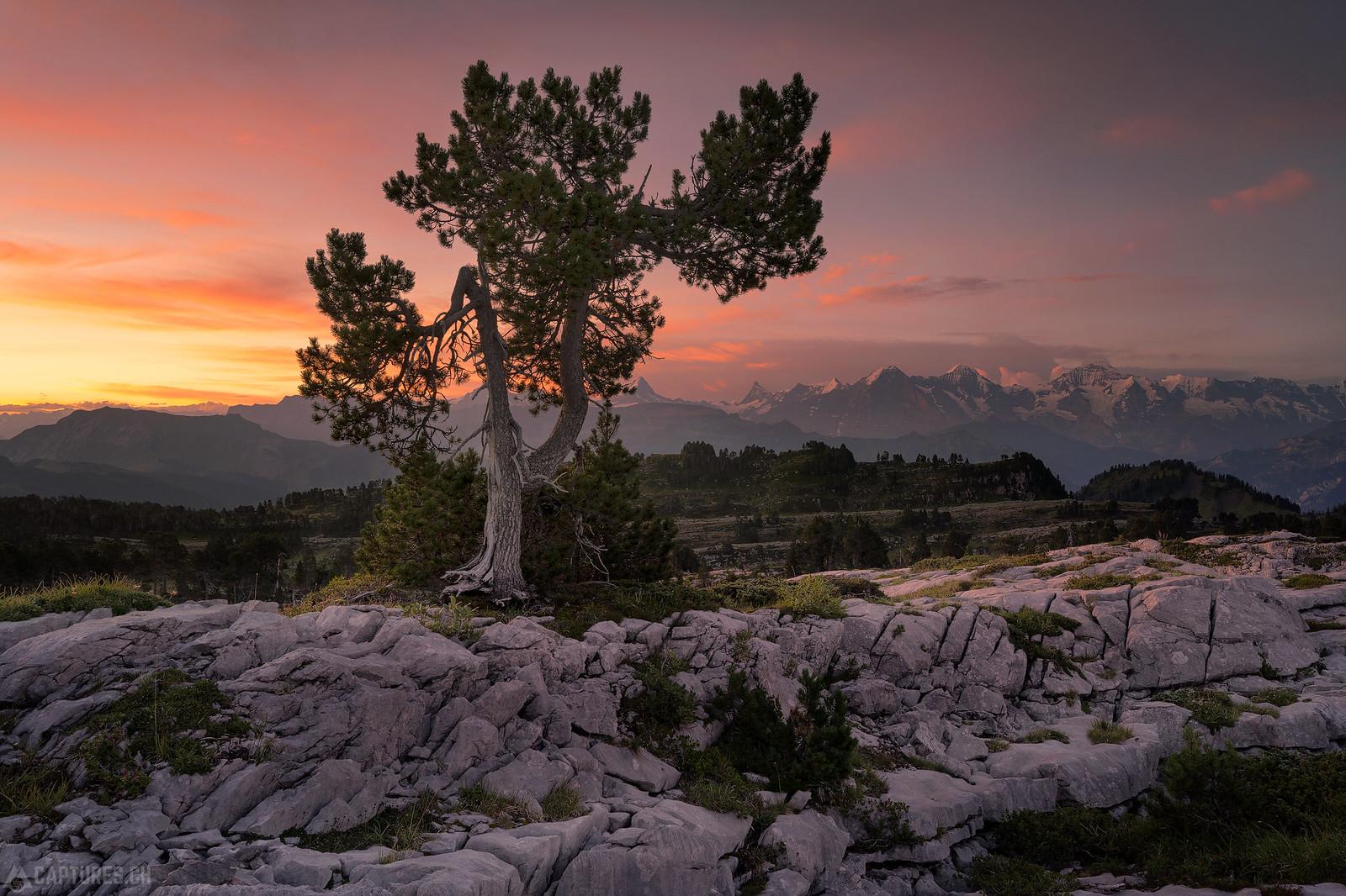 Tree in the sunrise light - Seefeld
