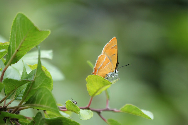 Female Brown Hairstreak at rest