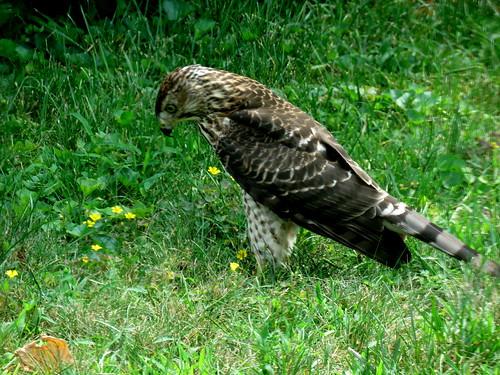 young hawk & it's prey
