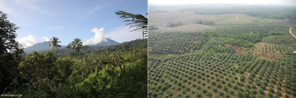 左:印尼北蘇拉威西省為種植椰子而開墾的雨林一景。圖片來源:Rhett A. Butler(Mongabay);右:印尼蘇門答臘省大規模栽植的油棕園。攝影:彭瑞祥。