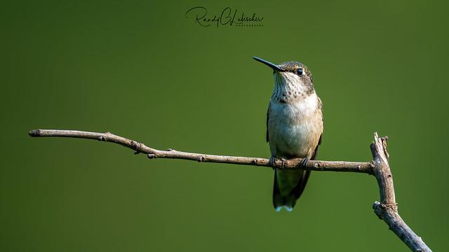 Ruby-throated Hummingbird - Archilochus colubris | 2020 - 5
