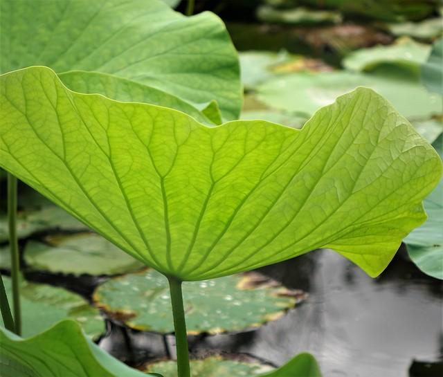 Lotus leaves