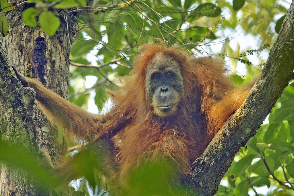 塔巴努里紅毛猩猩