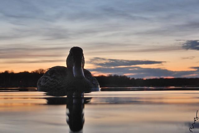 late sunset with mallard
