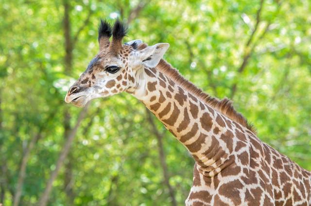 Baby Giraffe (In Explore)