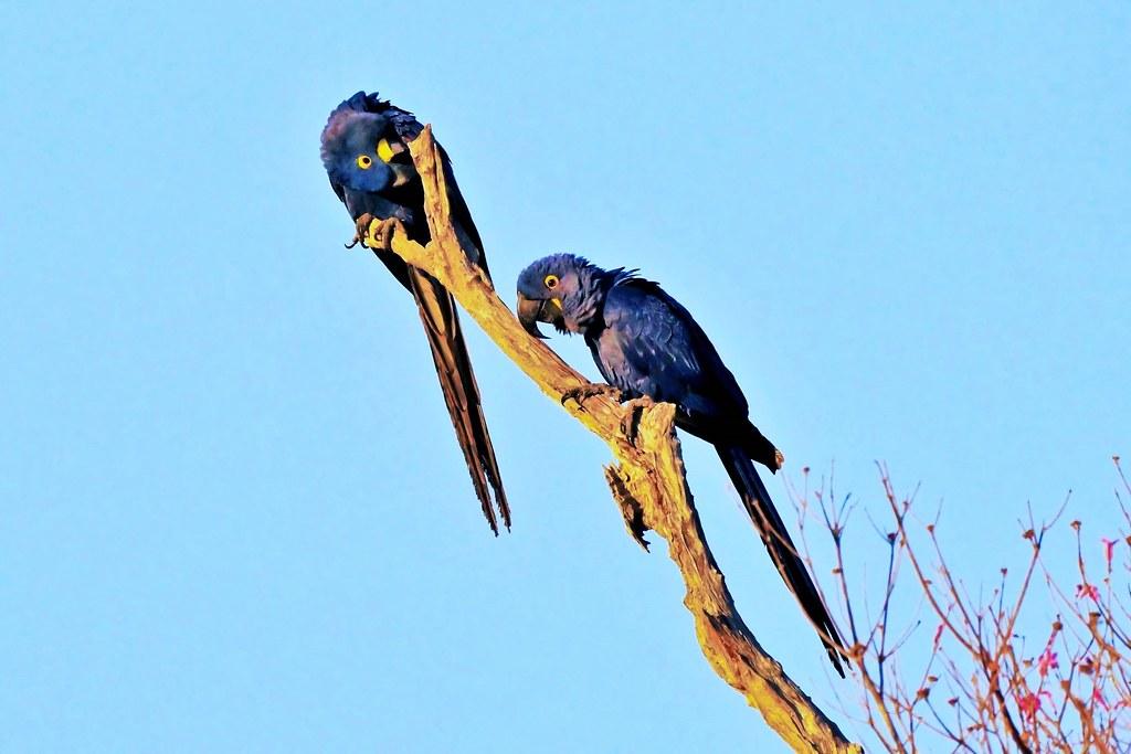 Two Hyacinth Macaws High In A Tree (Anodorhynchus hyacinthinus)