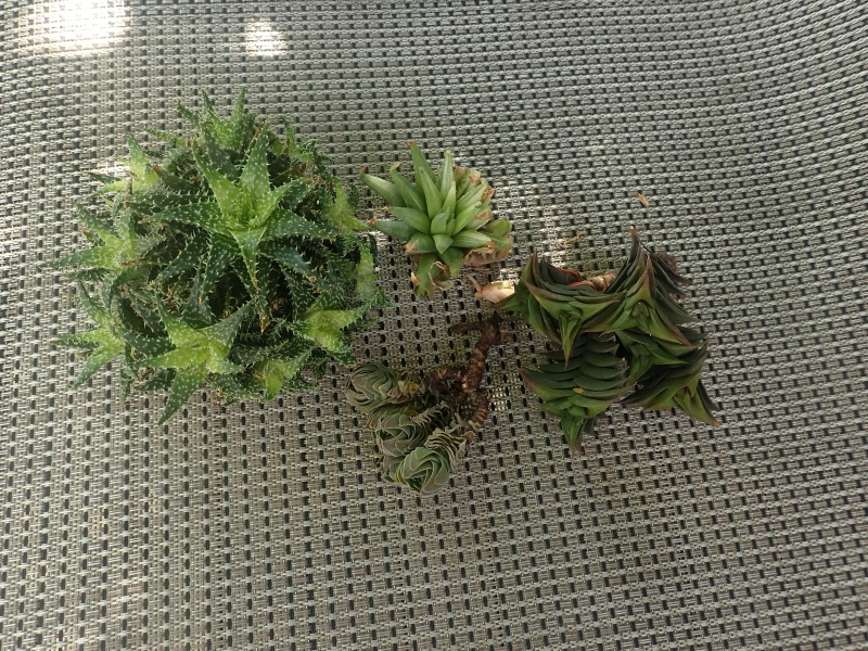 Commande de succulentes chez Thang N. - Page 9 50278102393_fe1aedecb0_o