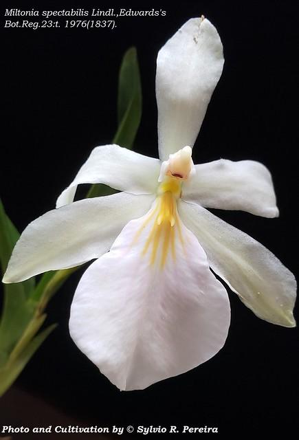 Miltonia spectabilis var. semi-alba
