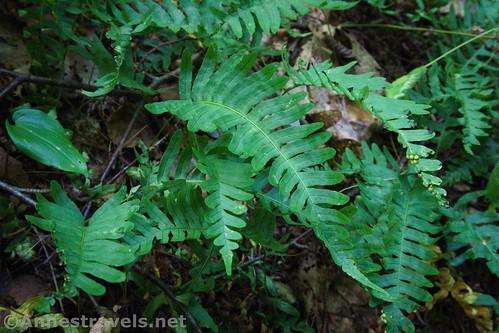 Ferns near Wolf Run along the Golden Eagle Trail, Tiadaghton State Forest, Pennsylvania