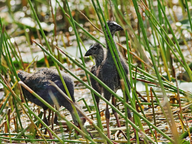 Gray-headed Swamphens 02-20200828