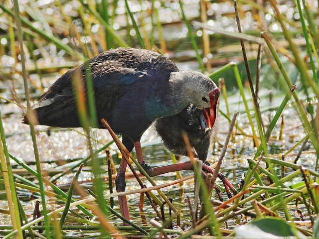 Gray-headed Swamphens 05-20200828