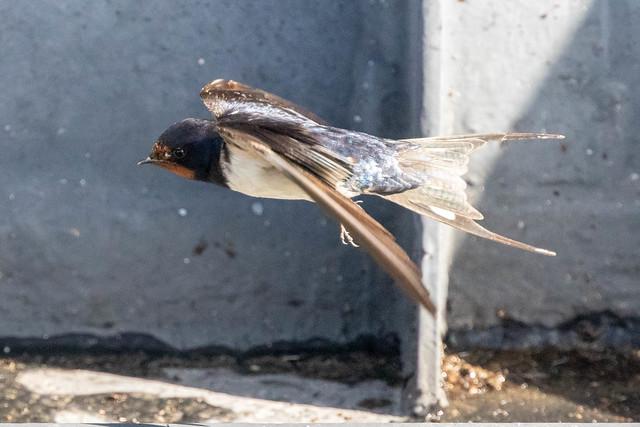 Flying barn swallow