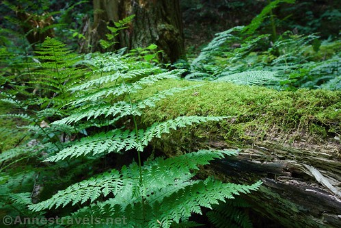 Ferns and moss along the Bonnel Run section of the Golden Eagle Trail, Tiadaghton State Forest, Pennsylvania
