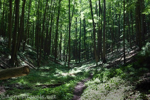 The Golden Eagle Trail and forest along Bonnel Run, Tiadaghton State Forest, Pennsylvania