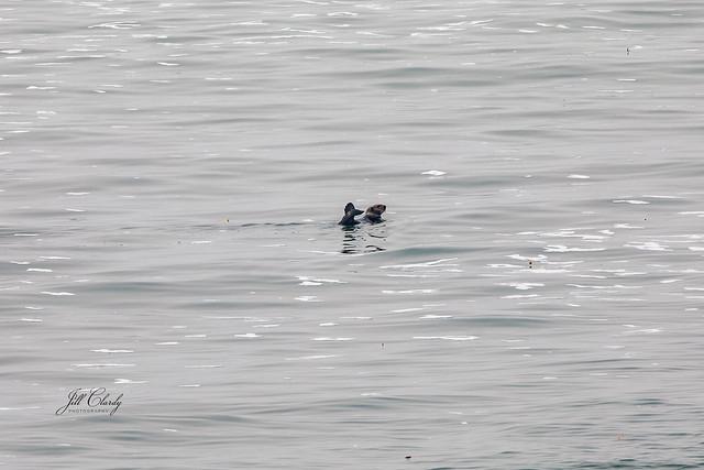 Sea Otter in Monterey Bay