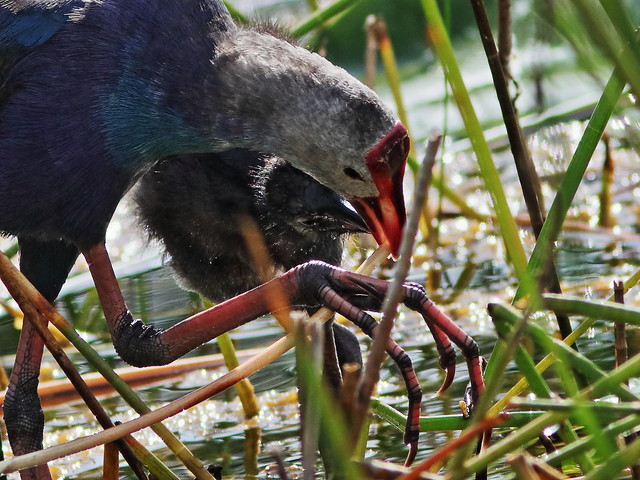 Gray-headed Swamphens 06-20200828