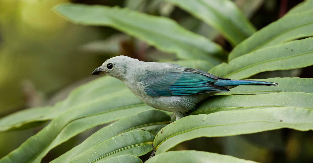 0P7A2178   Blue-gray Tanager, Ecuador