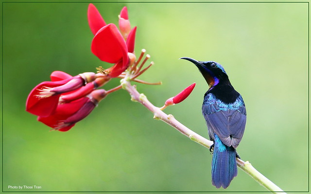 Looking forward to -Copper-throated Sunbird ( Male )