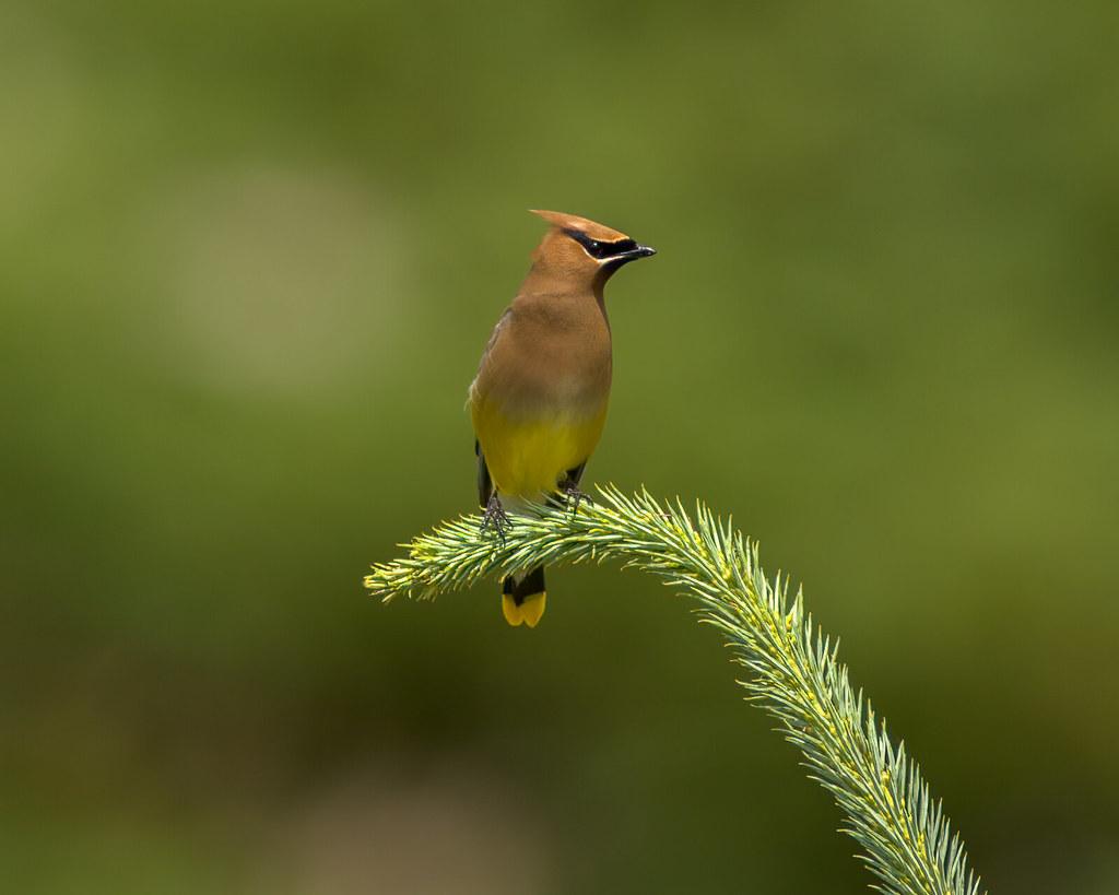 Cedar Waxwing (Bombycilla cedrorum) Revisited