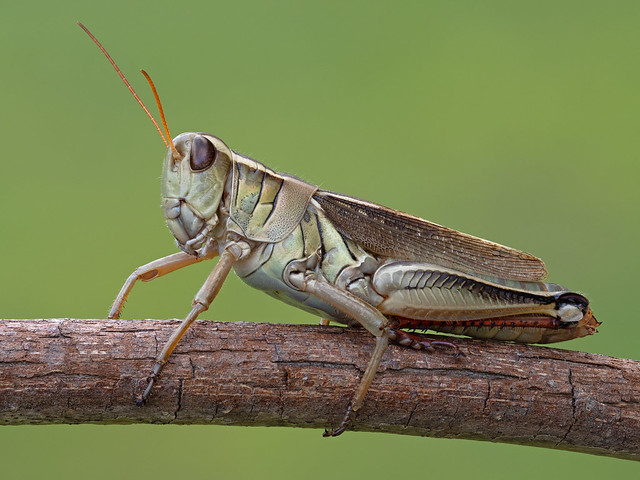 A robotic (is that even a real word?) Looking grasshopper.