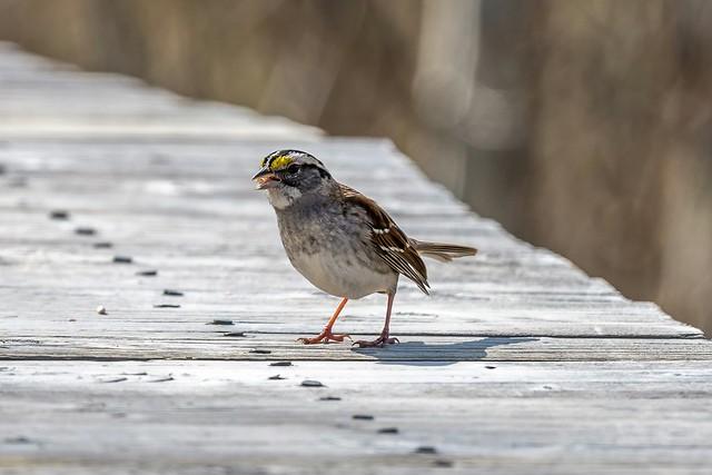 White-throated Sparrow ( Zonotrichia albicollis)