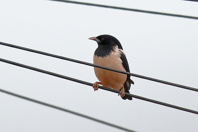 Rosy Starling (Pastor roseus) - male