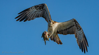 Ospreys young ones and adults | by eric-d at gmx.net
