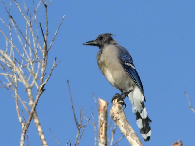 Blue Jay molting 01-20200829