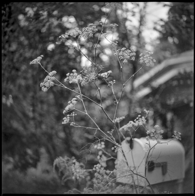 wildflowers, backlit, mailbox, roofline, neighborhood, Asheville, NC, Yashica D, Fomapan 200, Moersch Eco film developer, 8.27.20