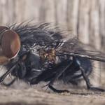 Flesh fly-6