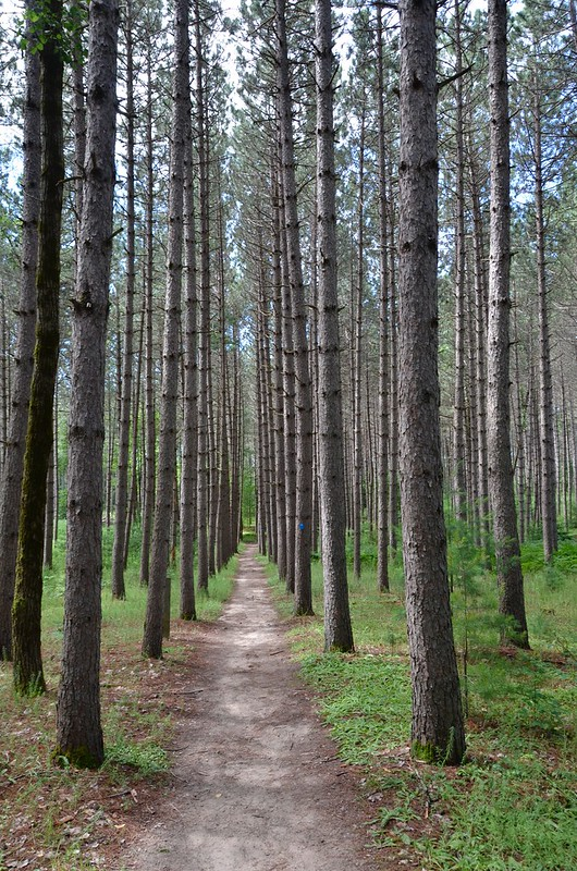 Restoule - planted forest trees