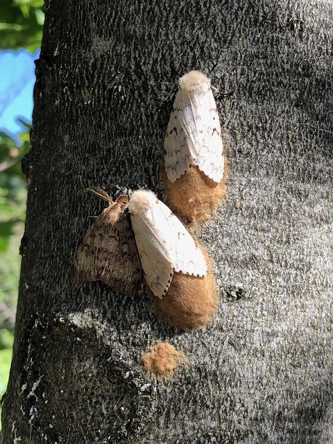 Killbear - the gypsy moths laying eggs