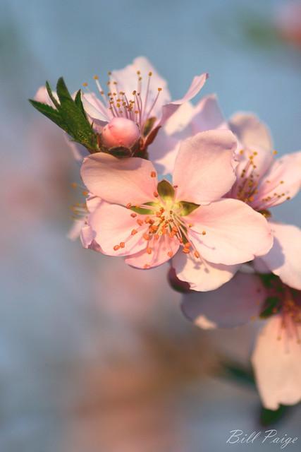Spring-Blume-II