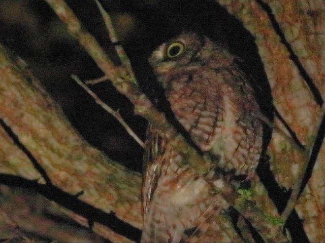 Eastern Screech-Owl 03-20200829