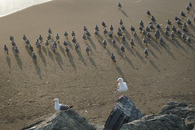 2 Gulls and a Flock