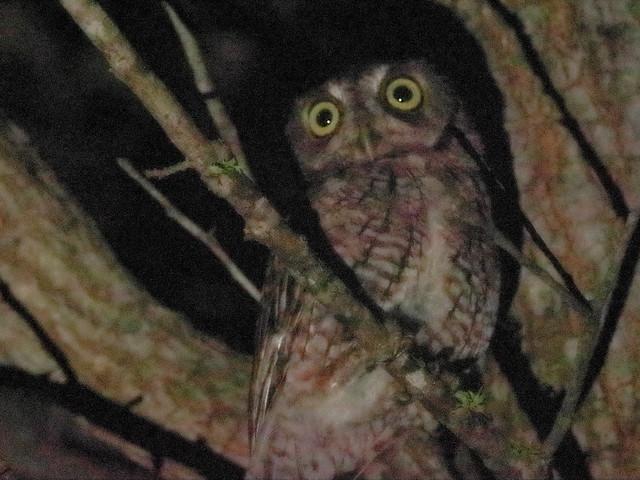 Eastern Screech-Owl 01-20200829