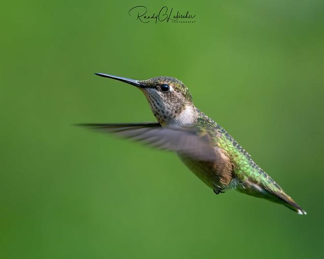 Ruby-throated Hummingbird - Archilochus colubris | 2020 - 7