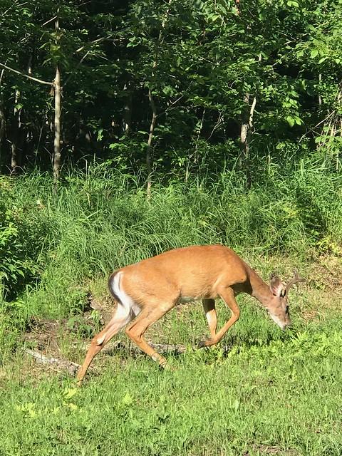 Killbear - a deer