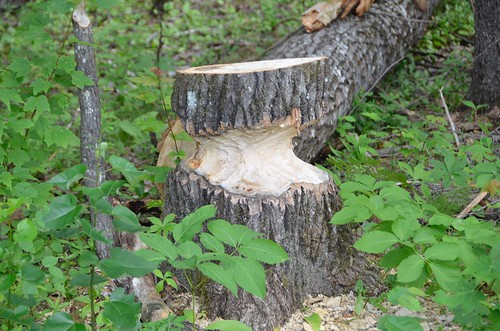 Bonnechere - Beaver started the tree