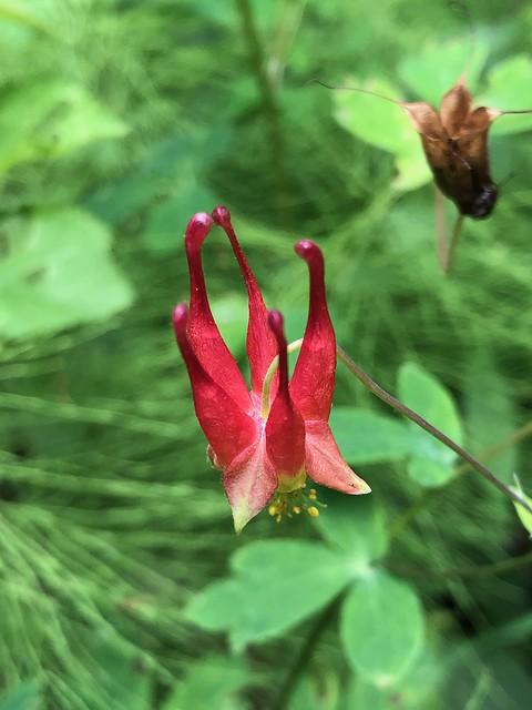 Bonnechere - a pretty flower