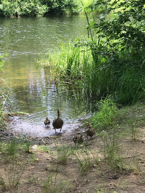 Bonnechere - Duck and ducklings