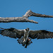 Osprey (Pandion halieatus)
