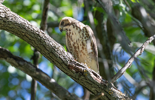 Broad-winged Hawk near