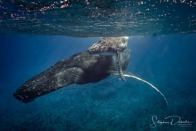 Bora Bora Humpback Whale