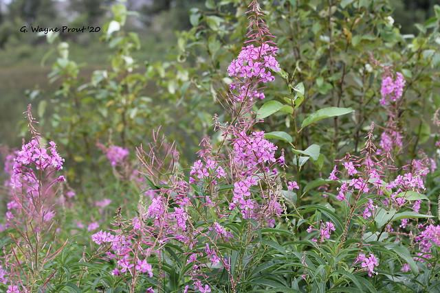 Fireweed (Chamerion augustiflorium)